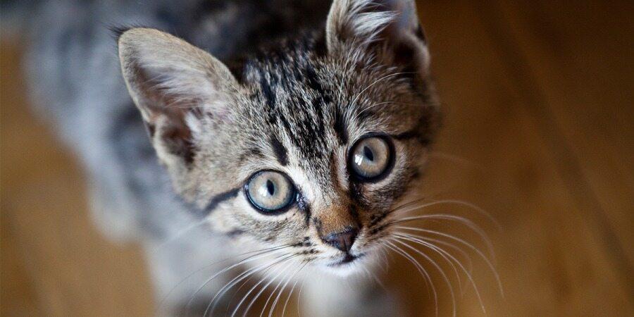 گران ترین نژاد های گربه در جهان را ببینید