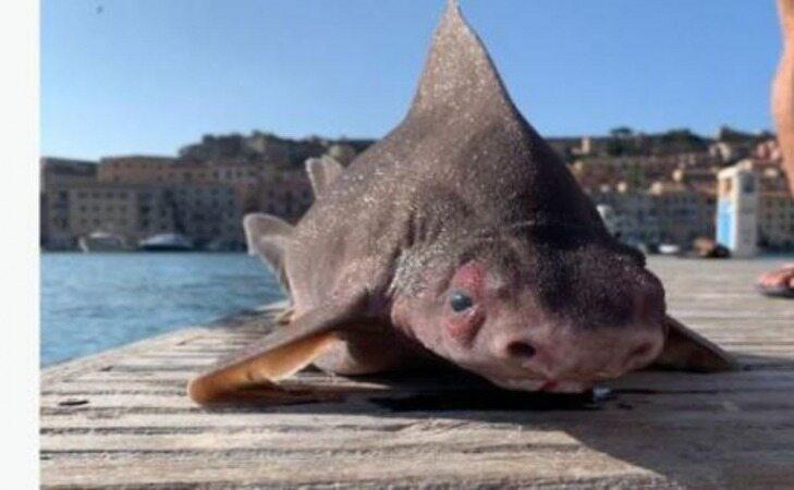 کشف ماهی با بدن کوسه و سر خوک +عکس